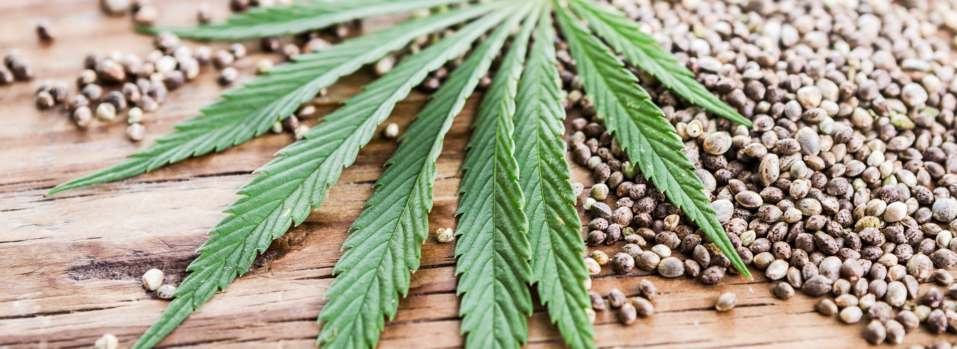 Closeup of hemp cannabis leaf and seeds